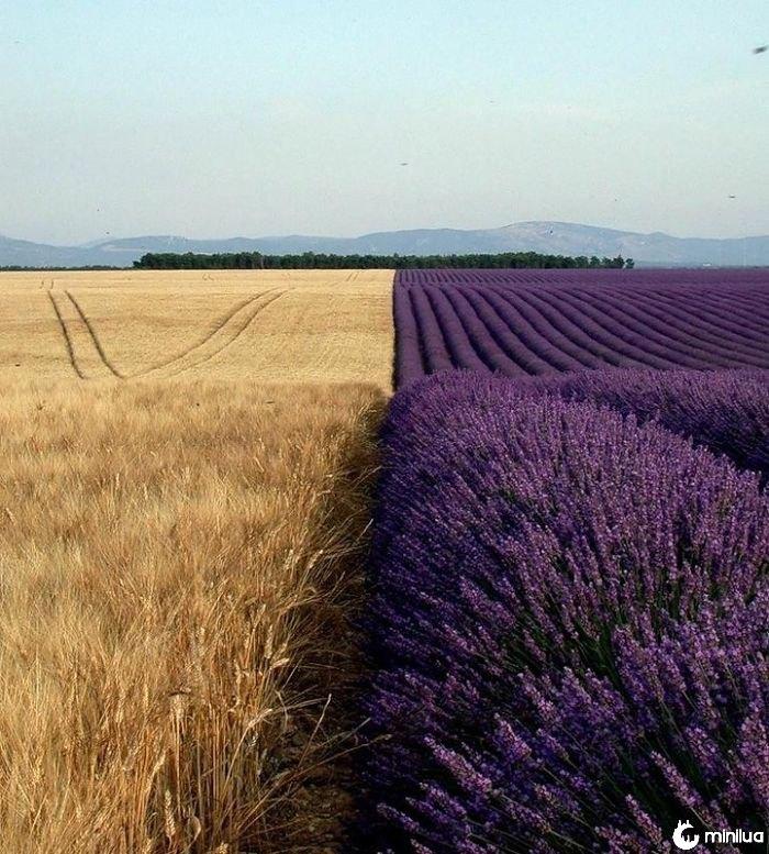 Campo de trigo ao lado de um campo da alfazema