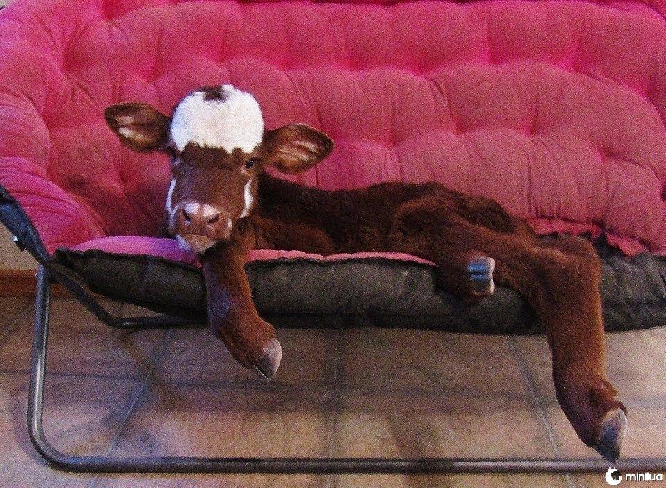 Resgatado, miniatura, vaca, relaxante, sofá