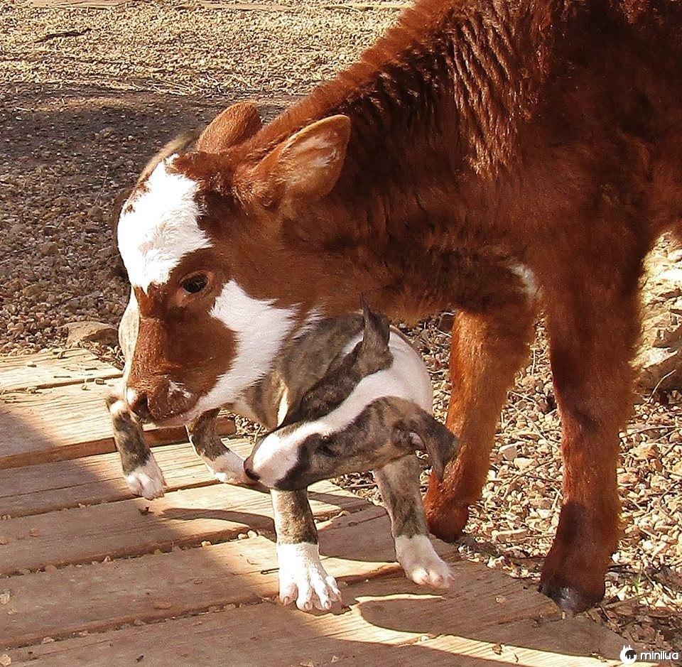 Cão, miniatura, vaca, tocando