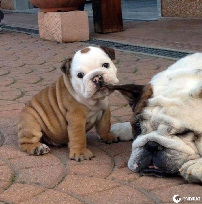 Awwww tal filhote de cachorro bonito do buldogue que tenta acordar o paizinho