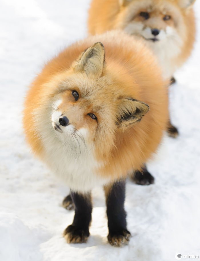 Essa raposa