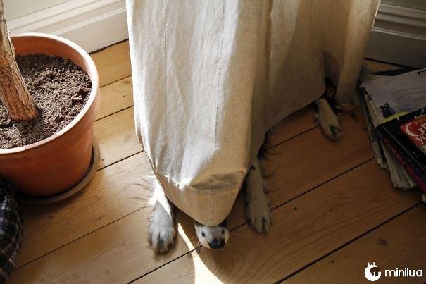 cão escondido nas cortinas