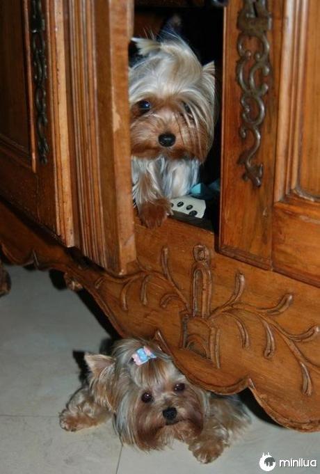 Cão que esconde em móveis