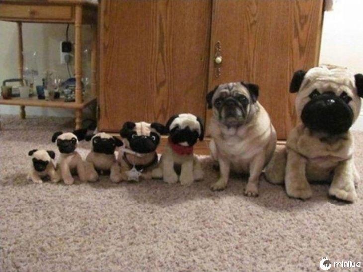 cão pugs pug escondido entre brinquedo