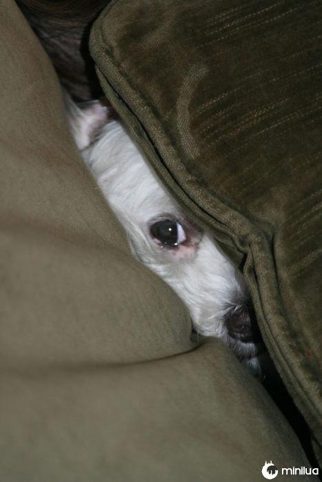 cão escondido no sofá