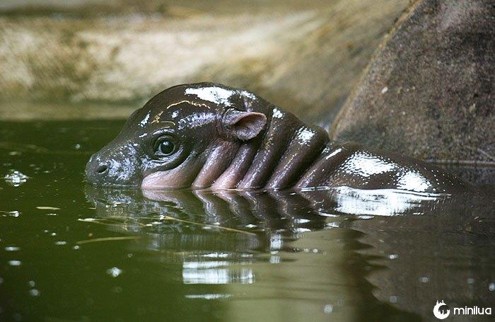 Hipopótamo do bebê