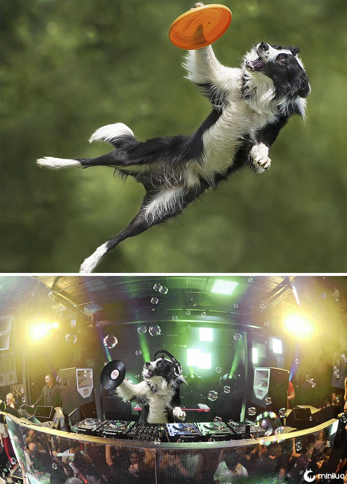 This Extreme Border Collie