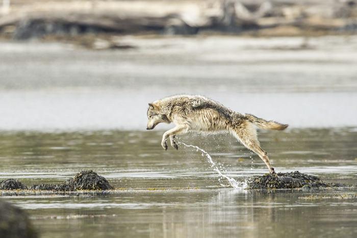 Natação-mar-lobos-pacific-coast-canada-ian-mcallister-11