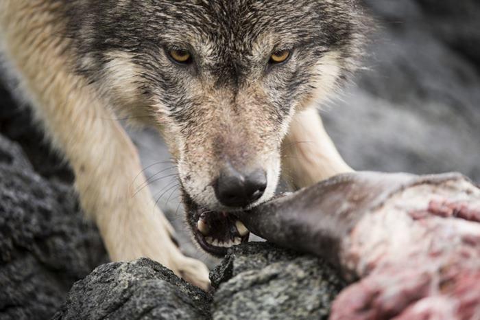 Natação-mar-lobos-pacific-coast-canada-ian-mcallister-12