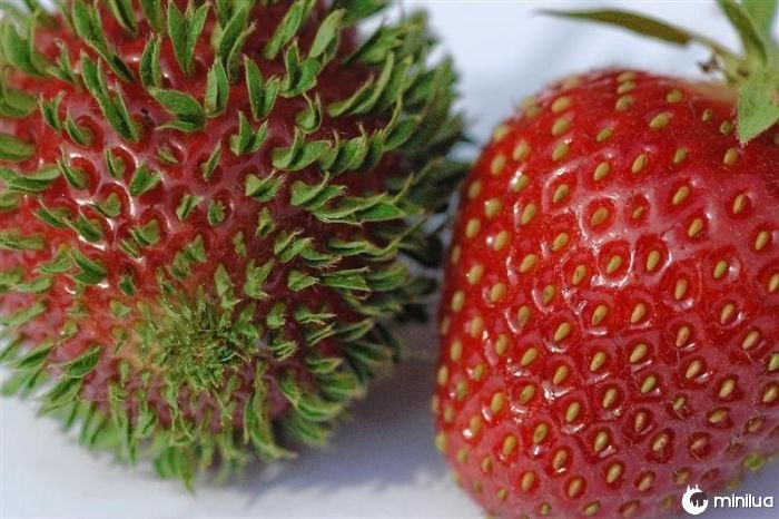Sprouting Strawberry Seeds