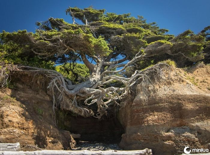 Tree Of Life - Parque Nacional Olímpico, Washington
