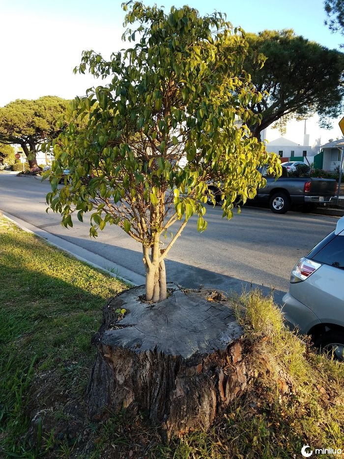Esta árvore está crescendo fora de outra árvore