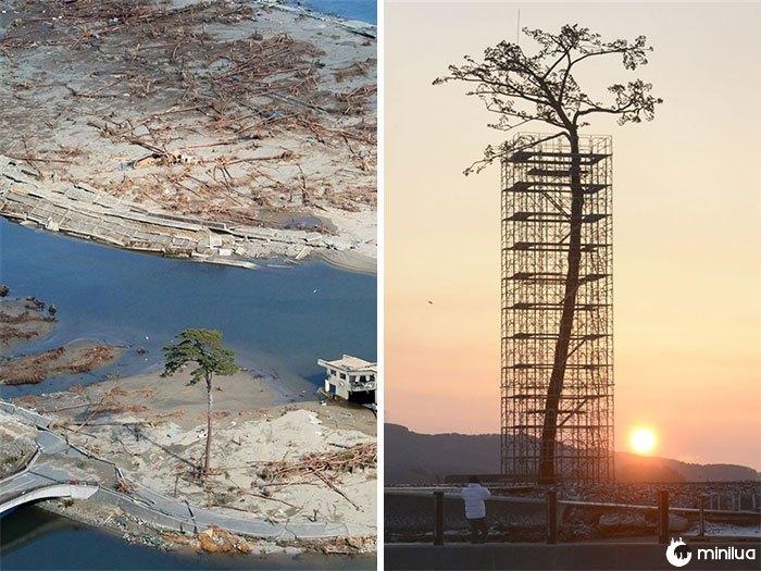 A única árvore que sobreviveu ao tsunami no Japão entre 70 mil árvores. Hoje Protegido e Restaurado