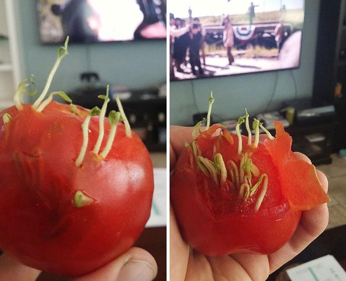 Sementes que brotam do interior de um tomate
