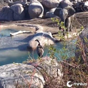 luta Goose contra elefante viral