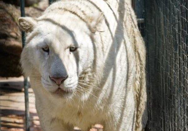 tigre siberiano apreendidos na casa dos Templários
