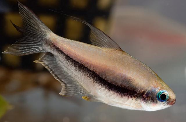 Um peixe vivendo no pulmão