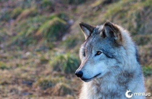 Lobos selvagens