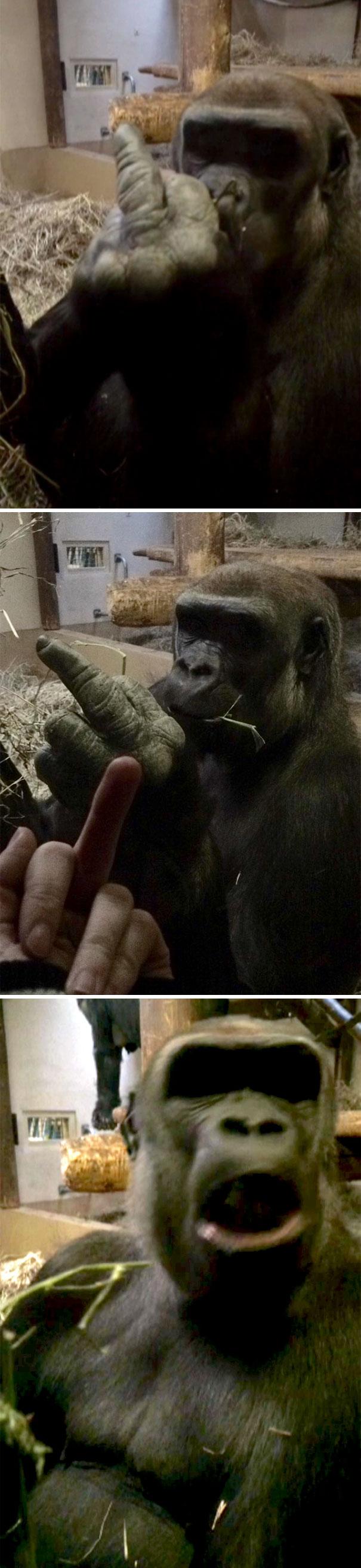 Um gorila me afastou, então eu o afundei no retorno e ele estava muito ofendido