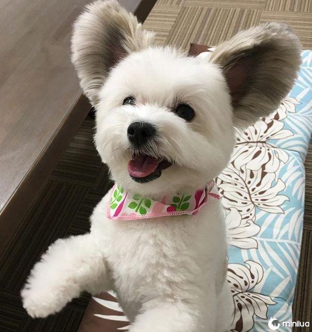 cão com orelhas de rato (4)