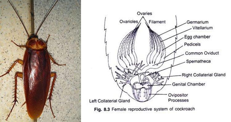 Barata, sistema reprodutivo da barata fêmea