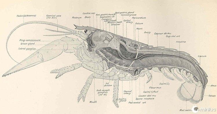 Anatomia Feminina da Lagosta