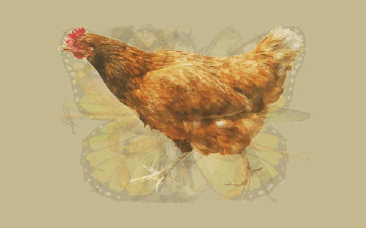 Que animais frango