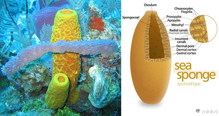 Esponjas do mar, diagrama de esponjas do mar