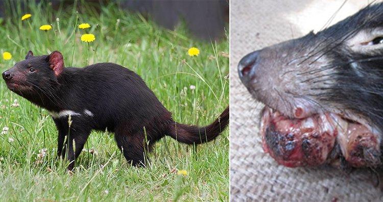 Diabo da Tasmânia, doença do tumor facial do diabo-da-tasmânia