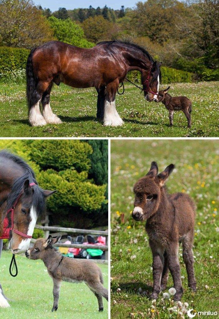 Minúsculo recém-nascido burro fazendo amigos com um cavalo