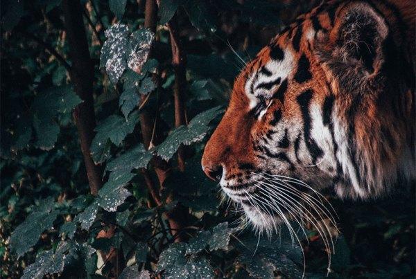 Porque tatuar tigres? Descubra - Minimal Ink