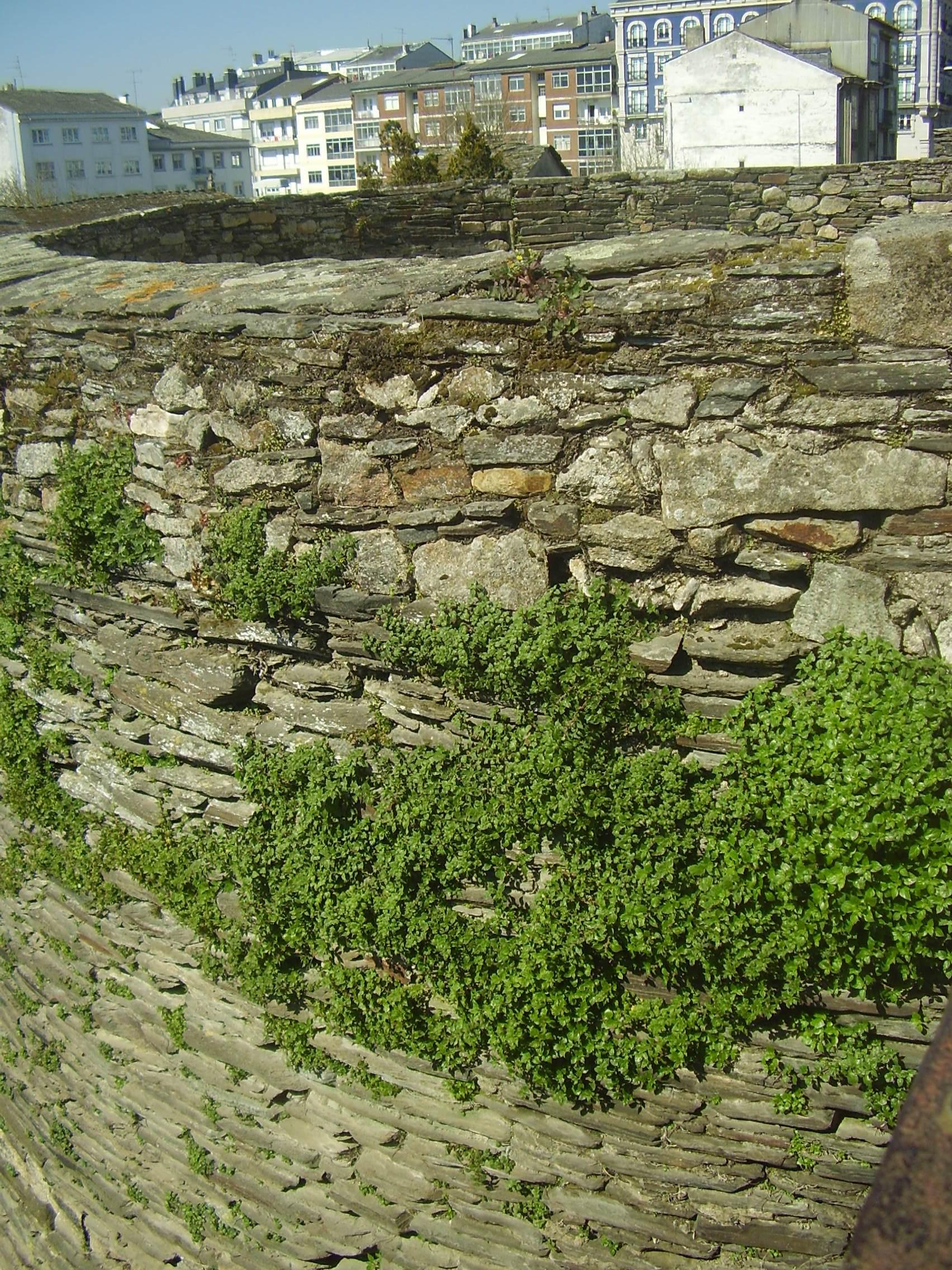 hierbas-muralla-lugo-003