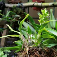Dendrobium sinominutiflorum