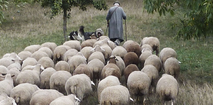 shepherd sheep dogs