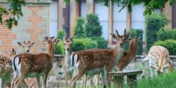 fallow deer at charlecote park