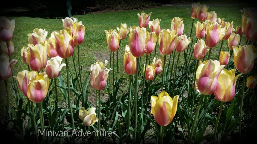 More lovely tulips at Centennial Park.