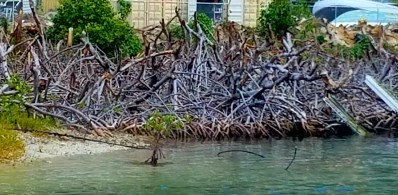 22818 Sopers Hole mangroves BVI 4 (2)