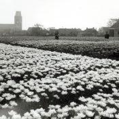 Tulpenvelden Minnertsga volop in bloei