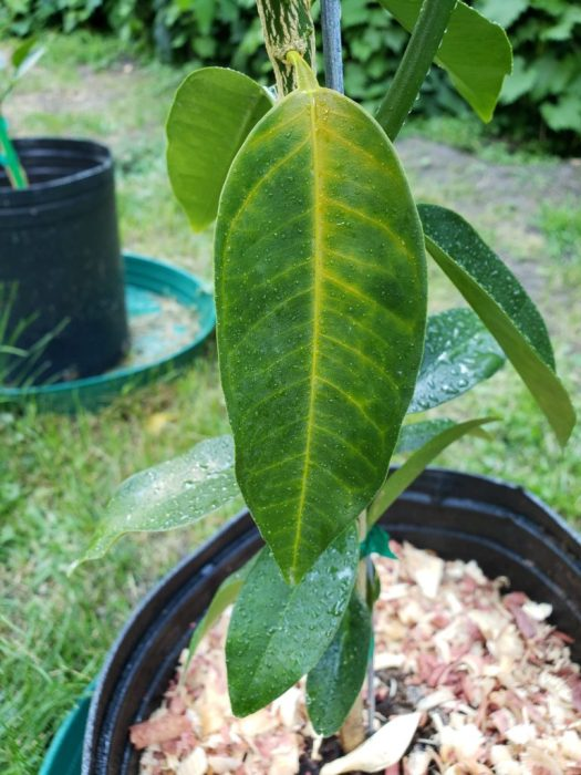 Green leaf, yellow veined citrus is an early warning sign that your tree is starving from lack of nitrogen