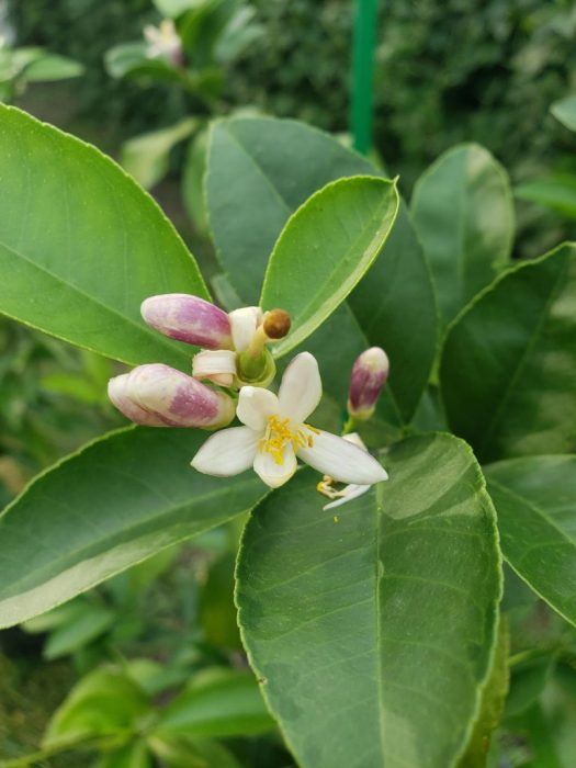 Blossoms of a Meyer Lemon Tree