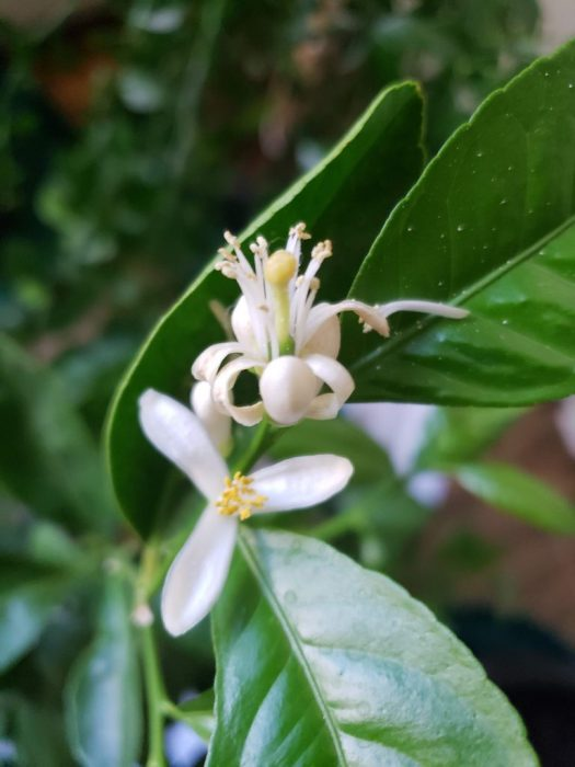 ranpur lime blooms indoors in container