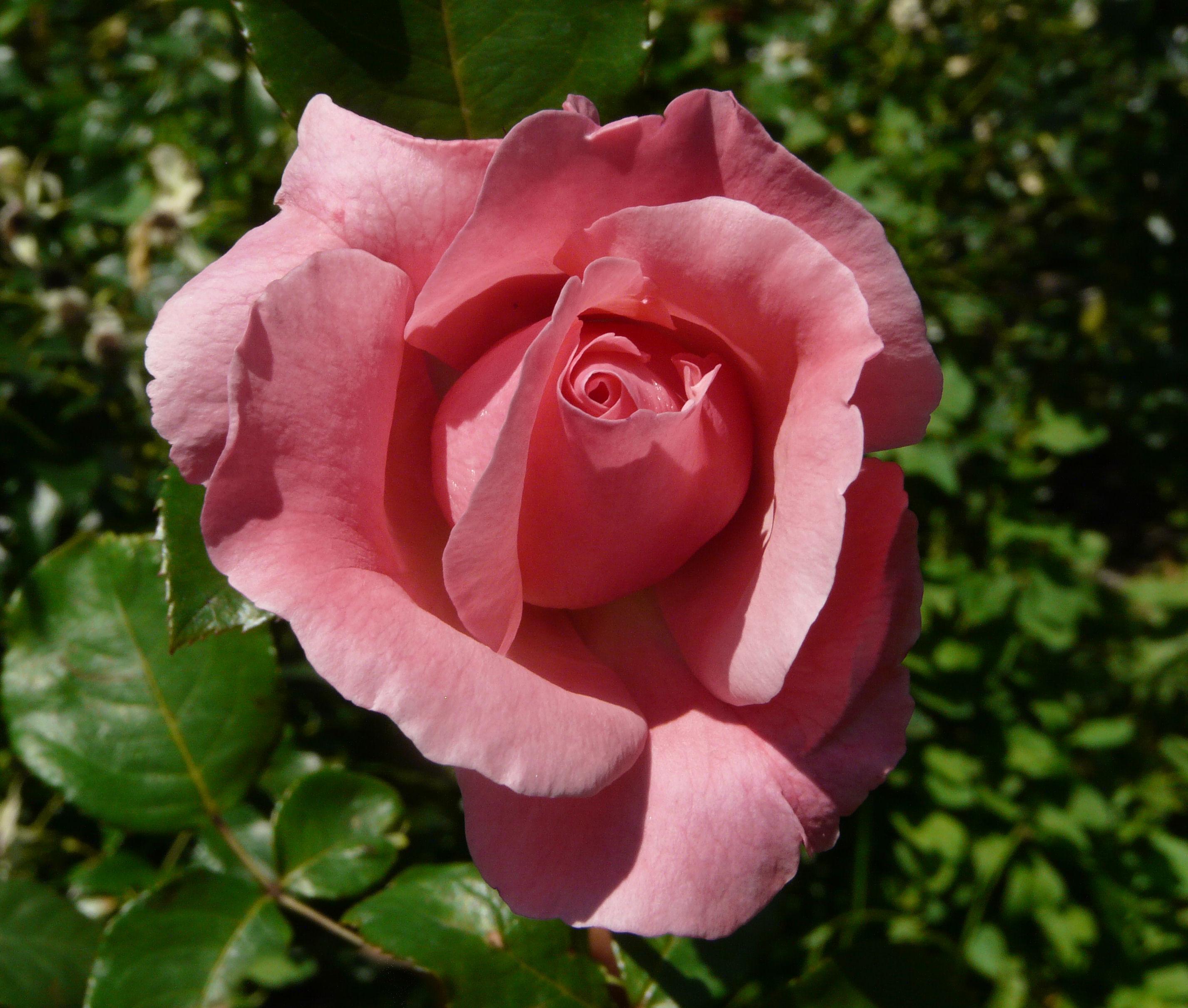 Beginners Rose List  Minnesota Rose Society
