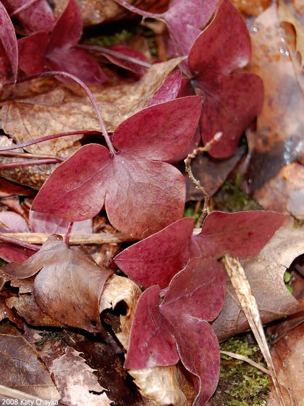 Anemone Acutiloba Sharp Lobed Hepatica Minnesota