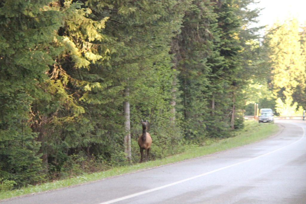 Moose Grand Teton