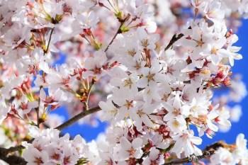 日本櫻花品種介紹,日本櫻花種類介紹