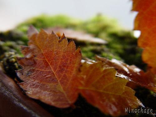 自宅の盆栽の紅葉