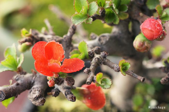梅ミニ盆栽