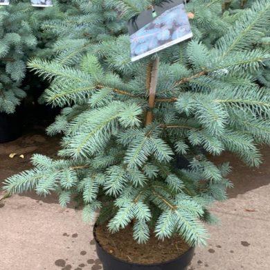 Picea Pungens Blue
