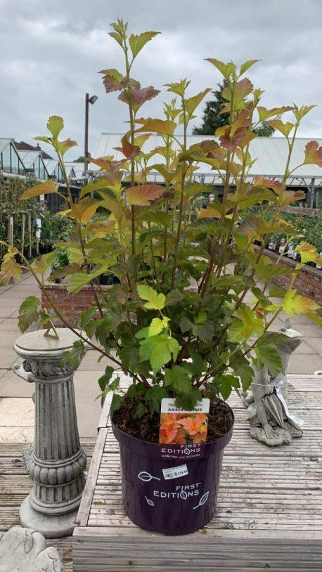 Physocarpus Opulifolius Amber Jubilee