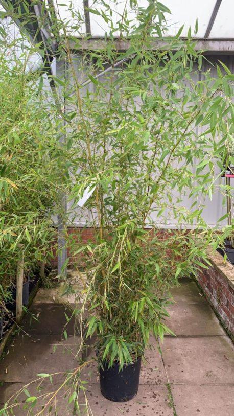 Bamboo at Minshull's